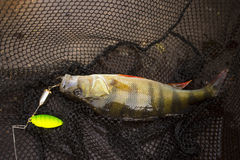 Caught perch on spinners at nets Stock Photography