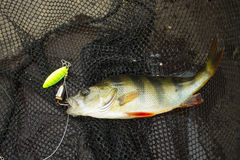 Caught perch on spinners at nets Stock Photos