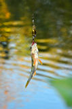 Caught Perch with spinning lure hanging over the water Stock Images