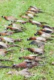 Caught pheasants Stock Photo
