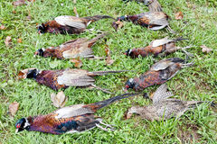 Caught pheasants Stock Photography