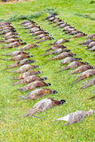 Caught pheasants. Still life of excludes of caught pheasants Royalty Free Stock Photo