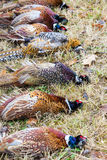 Caught pheasants Royalty Free Stock Images