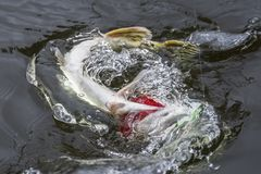 Caught pike fish trophy in water with splashing. Fishing background.  royalty free stock images