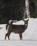 Caught que da un paseo en el bosque Fotografía de archivo libre de regalías