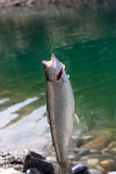 The caught rainbow trout Royalty Free Stock Photo