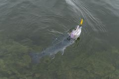 Caught rainbow trout salmon fish in water. Area fishing concept.  royalty free stock image