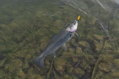 Caught rainbow trout salmon fish in water. Area fishing concept.  stock images