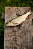 Caught river fish Royalty Free Stock Images