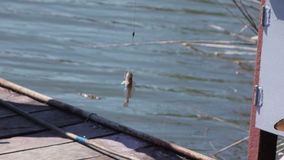 Caught river goby summer stock video
