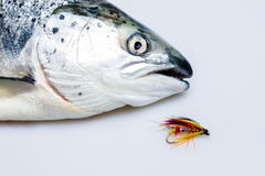 Caught salmon with fly. Caught salmon with colorful fly Stock Image