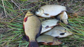 Caught a small carp lying on the grass. Freshly caught live fishes out of water lying on green grass stock footage