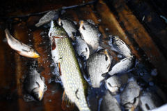 Caught some figh. Close up shot of some fish in a fisherman's boat Royalty Free Stock Images