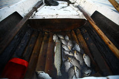 Caught some figh. Close up shot of some fish in a fisherman's boat Royalty Free Stock Photos
