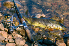 Caught by spinning brown trout (Salmo trutta fario). Good trophy. Caught by spinning brown trout (Salmo trutta fario) is in water on pebbles. Picturesque Royalty Free Stock Photo