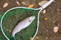 Caught trout lying on the ground in the fishing cages Royalty Free Stock Photo