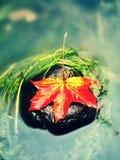 Caught yellow orange maple leaf on  long green algae stone. Colorful symbol Stock Images