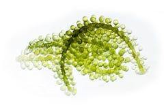 Caulerpa green caviar raw food Royalty Free Stock Photos