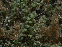 Caulerpa racemosa algae Royalty Free Stock Image