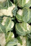 cauliflower свежий Стоковая Фотография RF