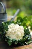 cauliflower Стоковая Фотография RF