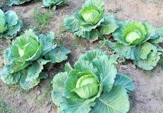 Cauliflower Stock Images