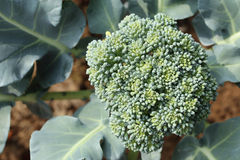 Cauliflower broccoli plant growing in a vegetable garden Stock Photography
