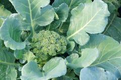 Cauliflower. The close-up of growing cauliflower . Scientific name: Brassica oleracea Stock Image