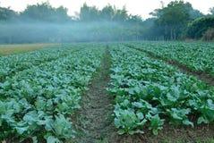 Cauliflower fields Stock Image