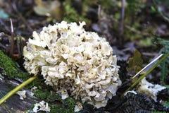 Cauliflower Fungus (Sparassis crispa) Royalty Free Stock Image