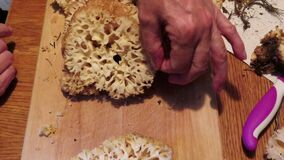 Cauliflower fungus Sparassis crispa. prepare mushroom for meal. cleaning