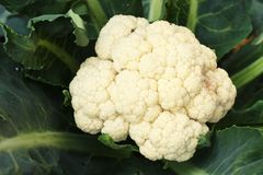 Cauliflower Growing In Garden. Close up Royalty Free Stock Photography