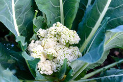 Cauliflower growing in garden Stock Image