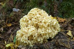 Cauliflower Mushroom Closeup Stock Images