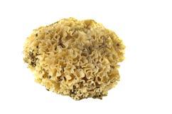 Cauliflower mushroom sparassis crispa Stock Photo