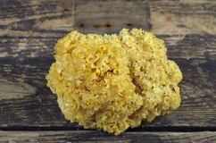 Cauliflower mushroom sparassis crispa Royalty Free Stock Photos