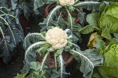Cauliflower plant. Caulifllower plant in the home garden in the pot royalty free stock photo