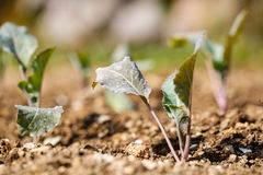 Cauliflower plants in freshly plowed and fertilized soil Royalty Free Stock Photo