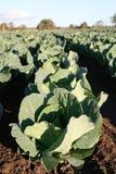 cauliflowers Стоковая Фотография