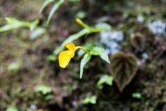 Caulokaempferia saxicola w Makro- Zdjęcia Stock