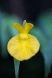 Caulokaempferia saxicola w Makro- Obraz Royalty Free