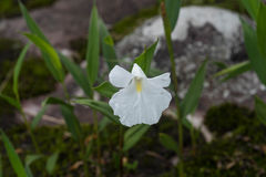 Caulokaempferia specie Royalty Free Stock Image