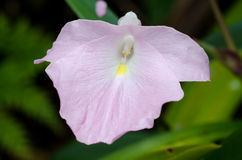 Caulokaempferia thailandica Royalty Free Stock Image