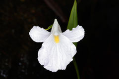 Caulokaempferia thailandica K. Larsen, ZINGIBERACEAE Stock Photography