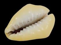 Cauri de la concha marina, cyprea, lado dentado fotos de archivo