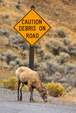 Caution Sign and Ewe. A ewe bighorn sheep grazing under a caution sign on a roadway. Yellowstone National Park royalty free stock photos