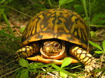 Cautious American Box Turtle Stock Image