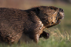 Cautious Beaver. A Canadian beaver walks cautiously through grassy habitat stock images