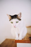 Cautious cat. Cautious adult female cat looking down Stock Photo