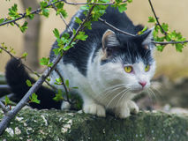 Cautious cat sits on the stone behind branches. The cautious cat sits on the stone behind branches Royalty Free Stock Images